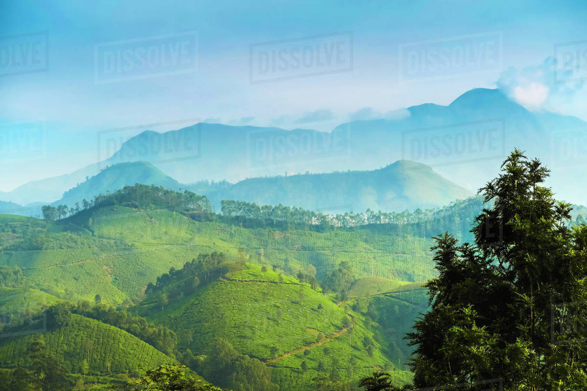 View north across Munnar tea estates to the Western Ghats and 2695m Anamudi, highest peak in south India, Munnar, Kerala, India, Asia Royalty-free stock photo