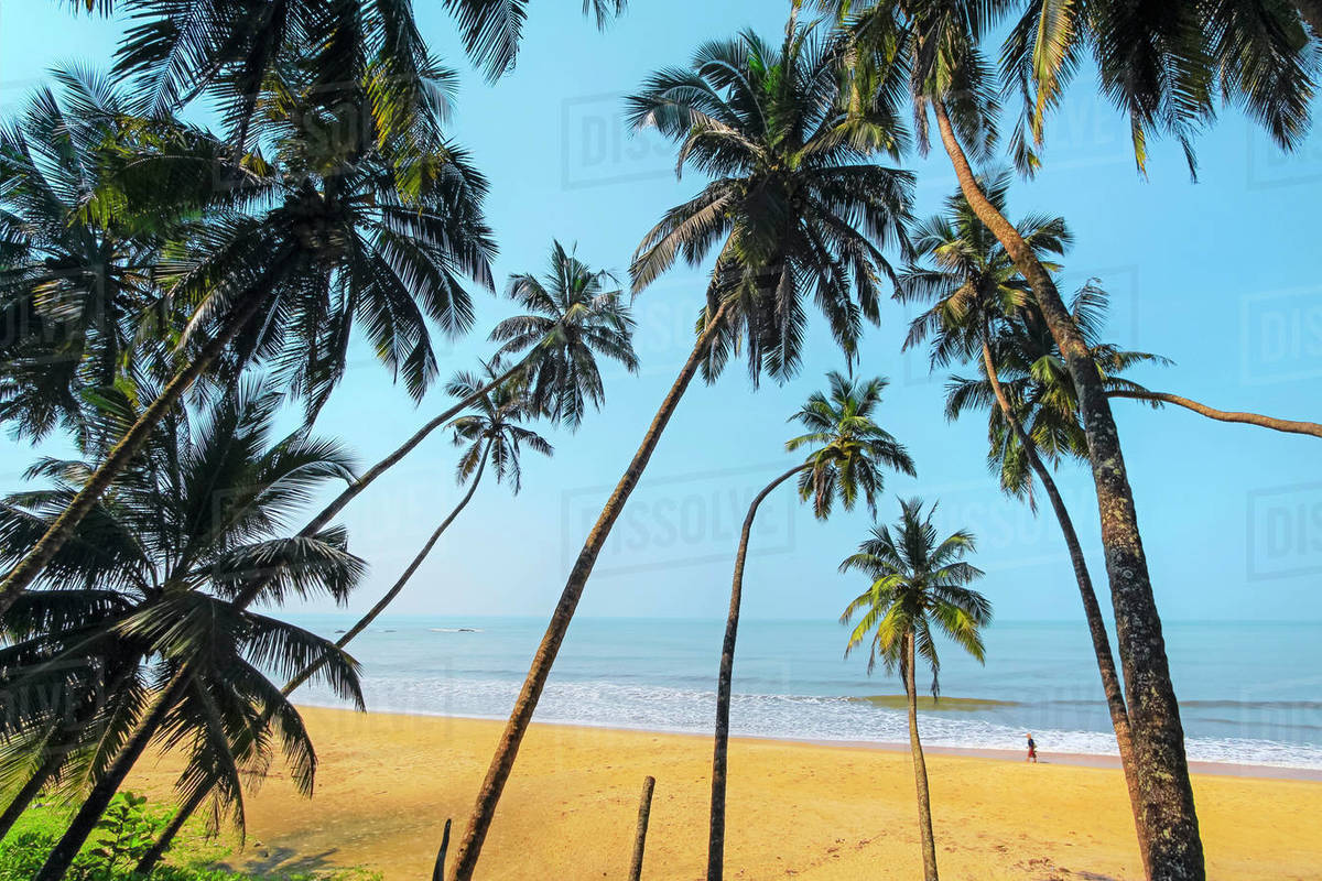 Leaning palm trees at lovely unspoilt deserted Kizhunna Beach, south of Kannur on the state's North coast, Kannur, Kerala, India, Asia Royalty-free stock photo