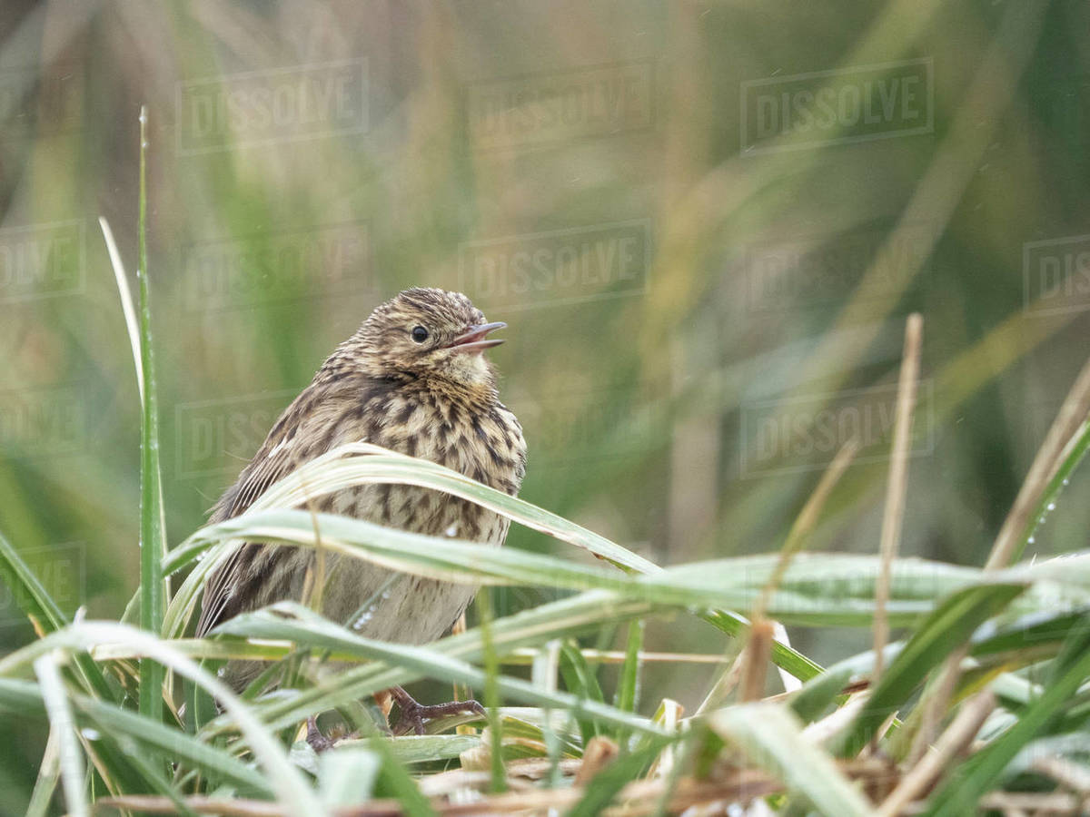 Adult endemic South Georgia pipit (Anthus antarcticus), in tussah grass in Stromness Harbor, South Georgia, Polar Regions Royalty-free stock photo