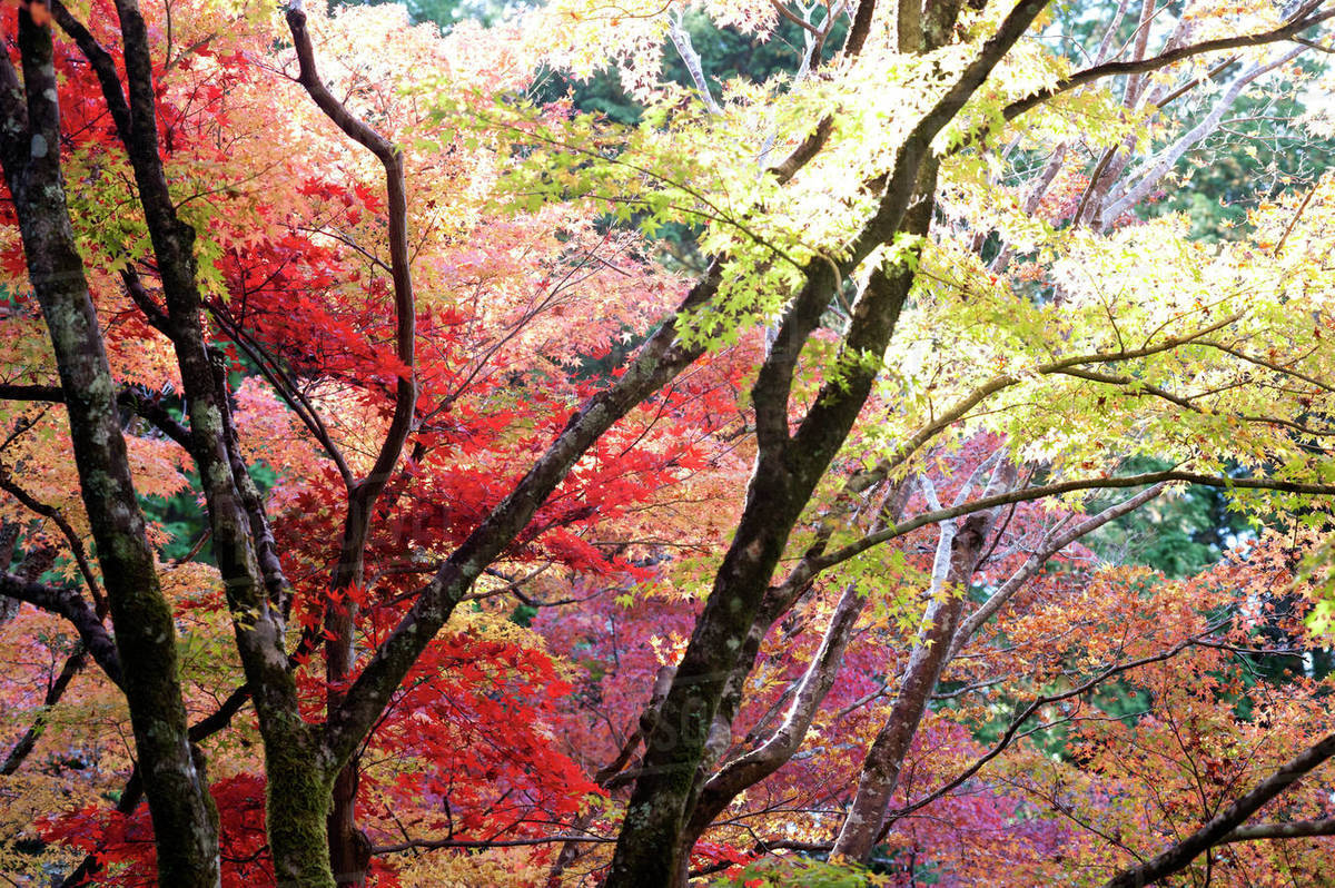 Glorious Autumn Leaf Colour In The Japanese Maple Trees In