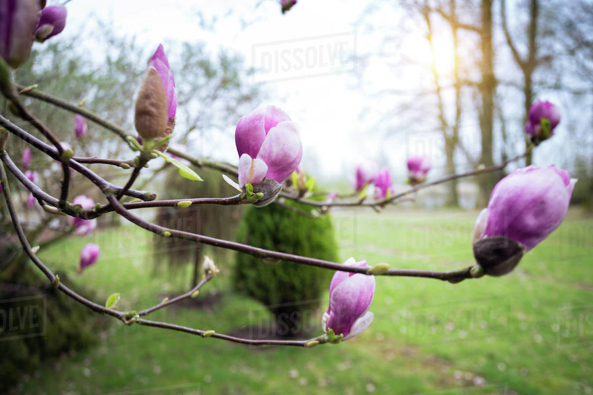 Spring. branch of a blooming magnolia in the garden Royalty-free stock photo