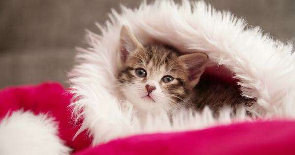 Adorable little tabby kitten ready to be given as a christmas present, looking cute while curled up in a furry red and white santa hat looking at the camera Royalty-free stock video