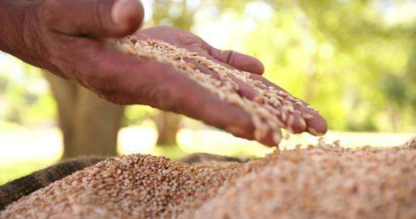 Grains of wheat proving some agricultural and farming know-how, slow motion Royalty-free stock video