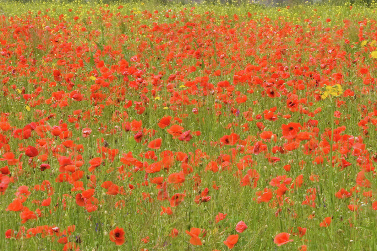 Romania Brasov Poppy Flowers Field In The Spring Stock Photo