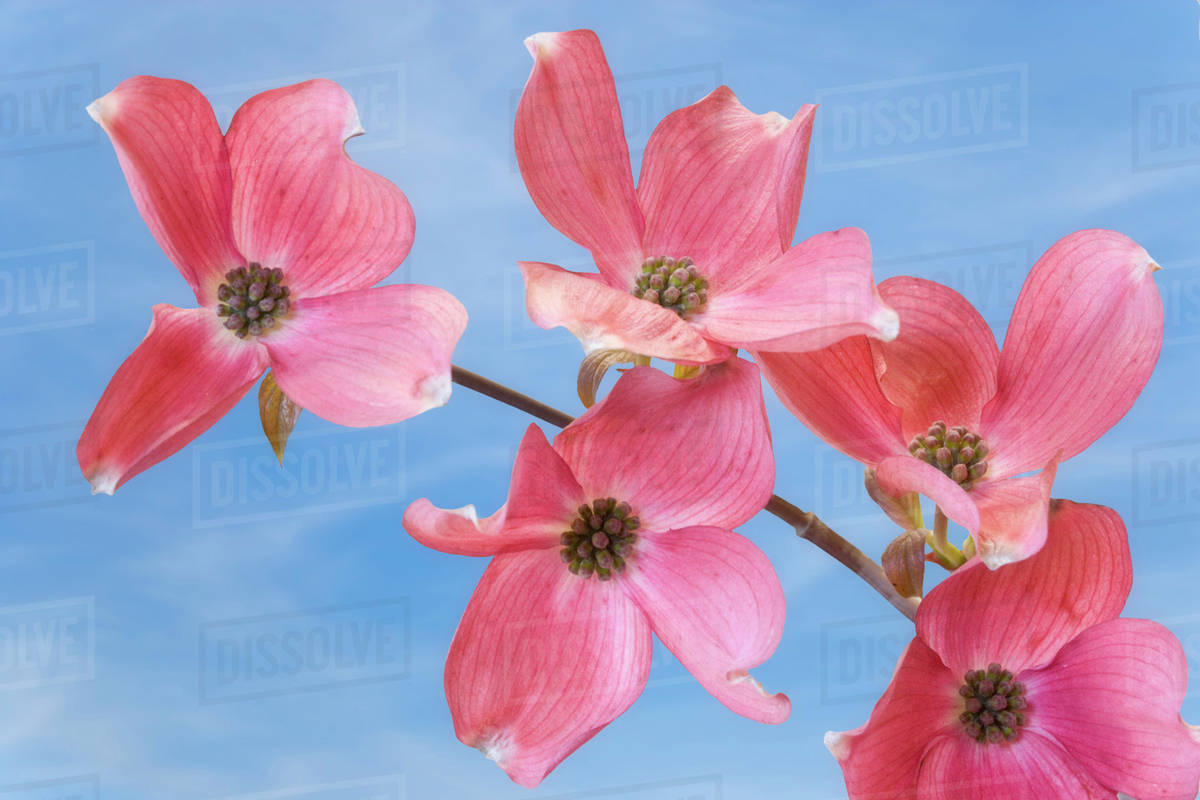 Close Up Of Pink Dogwood Flowers Stock Photo Dissolve