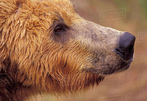 North America, USA, Alaska, Katmai National Park. Brown bear (Ursus arctos) Royalty-free stock photo