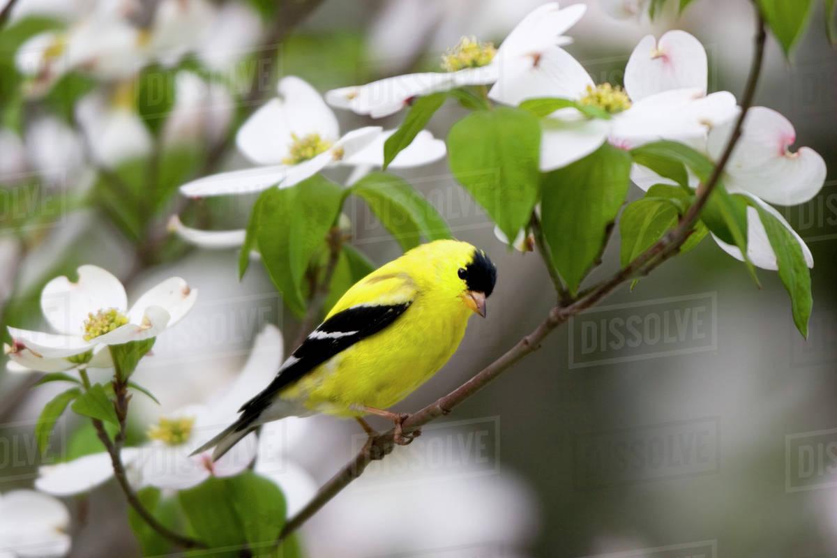 American Goldfinch (Carduelis tristis) male in Flowering Dogwood tree (Cornus Florida). Marion, Illinois, USA.