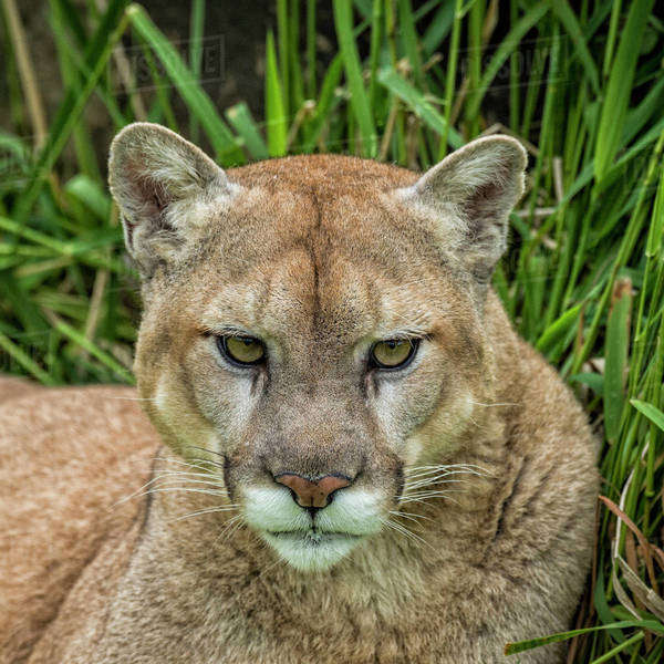 USA, Minnesota, Sandstone, Minnesota Wildlife Connection. Close-up of cougar in the grass. Royalty-free stock photo