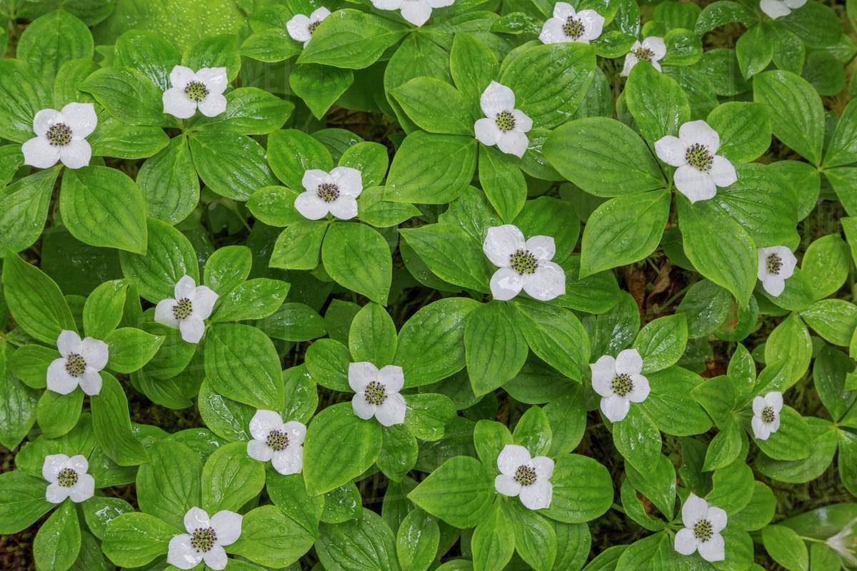 Usa Washington Olympic National Park Close Up Of Bunchberry With