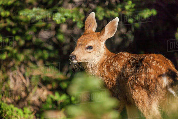 Olympic National Park, Hurricane Ridge. Black Tail deer fawn along the Cirque Rim Nature Loop Royalty-free stock photo