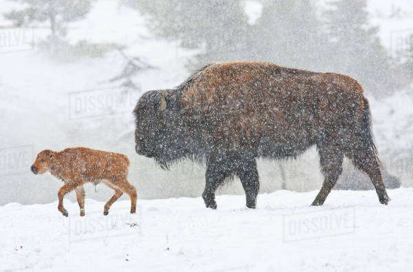 Wyoming, Yellowstone National Park, Bison cow and newborn calf walking in snowstorm. Royalty-free stock photo