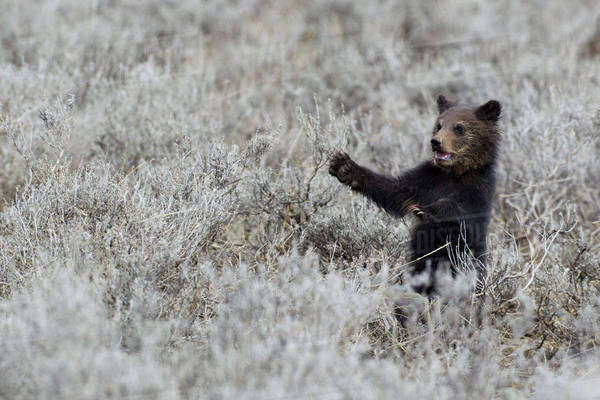 Grizzly Bear Cub, Yellowstone National Park. Royalty-free stock photo