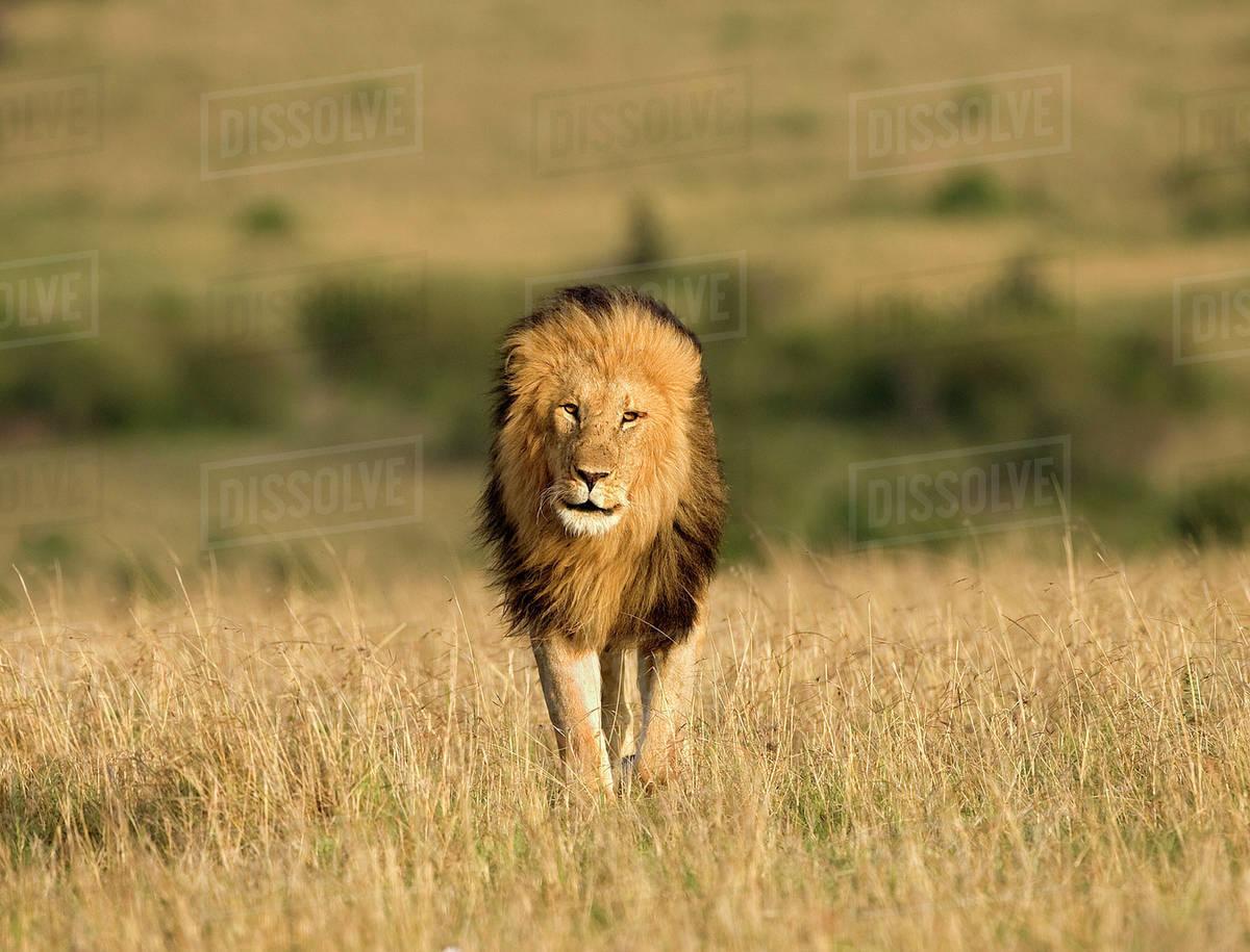 africa kenya masai mara game reserve male lion walking in dry