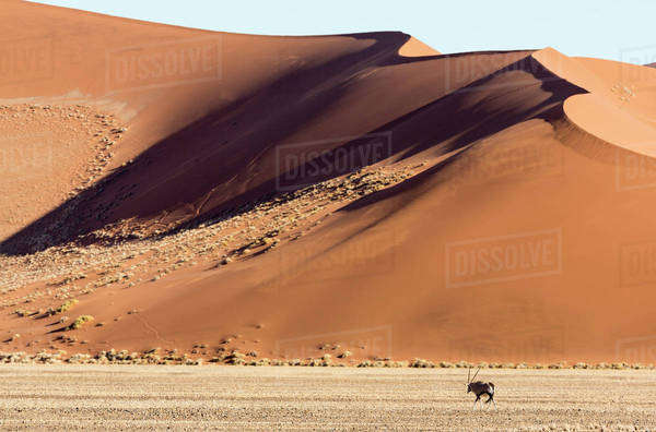 Africa, Namibia, Namib-Naukluft Park. Side-lit sand dunes and Oryx. Royalty-free stock photo