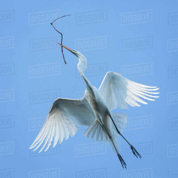 Mexico, San Miguel de Allende. Great egret flying with nesting material. Royalty-free stock photo