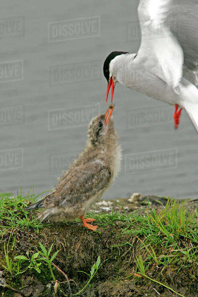 USA, Alaska, Potter's Marsh. Arctic tern adult in flight feeding chick. Royalty-free stock photo