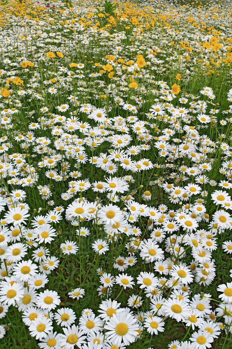 Meadow of oxeye daisy chrysanthemum leucanthemum and coreopsis meadow of oxeye daisy chrysanthemum leucanthemum and coreopsis flowers north carolina izmirmasajfo