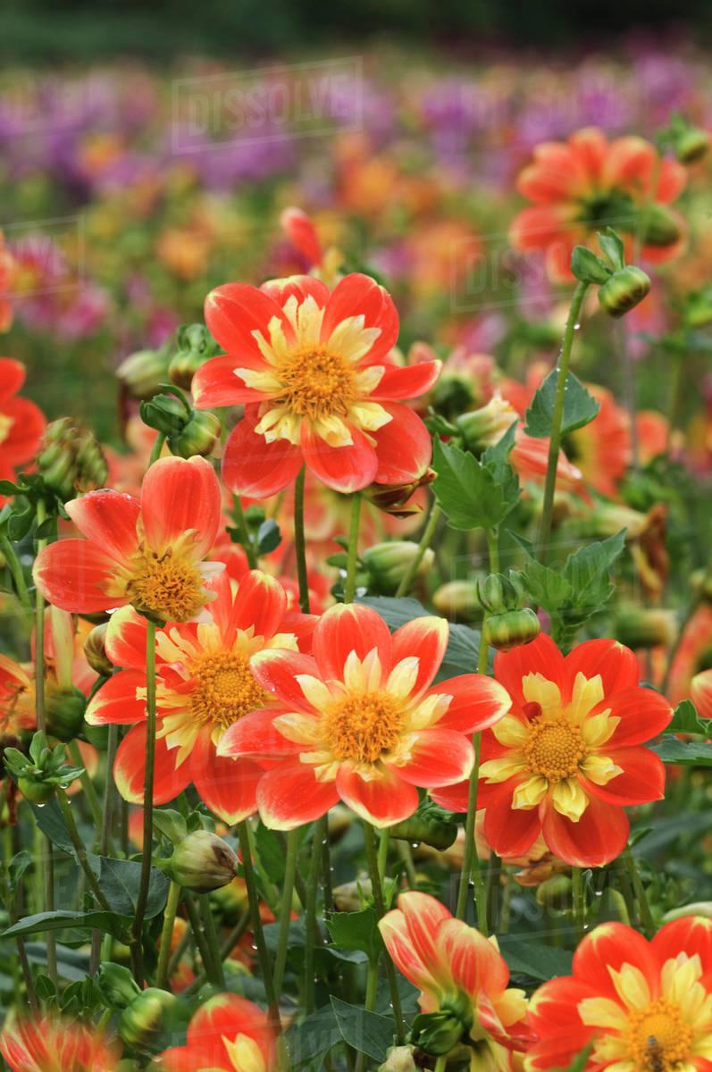 Usa Oregon Field Of Dahlia Flowers On Swan Island Stock Photo