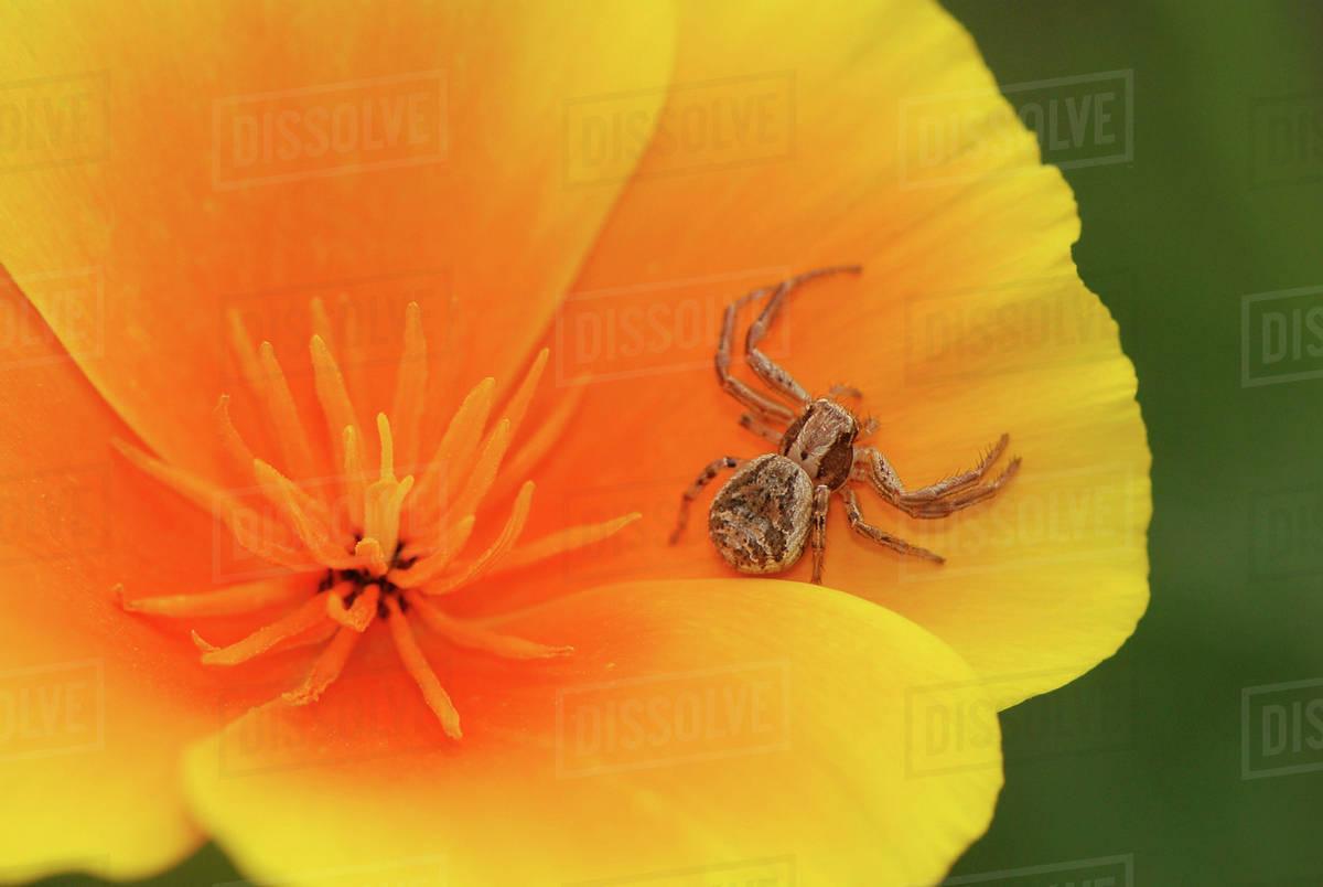 Usa oregon multnomah county crab spider on poppy flower stock crab spider on poppy flower mightylinksfo