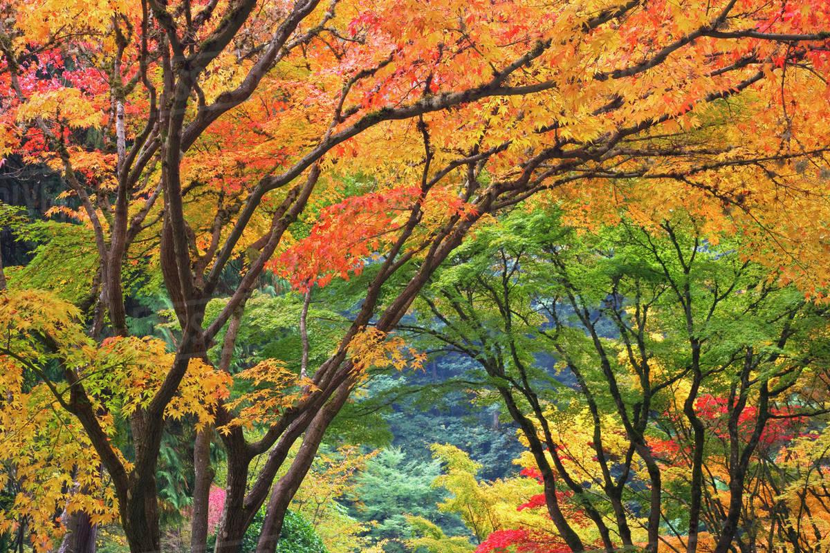 USA, Oregon, Portland. Maple trees in autumn color at Portland ...
