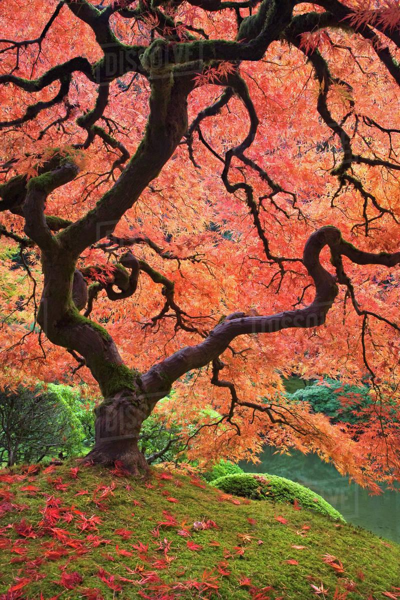 Usa Oregon Portland Japanese Maple Trees In Autumn Color At
