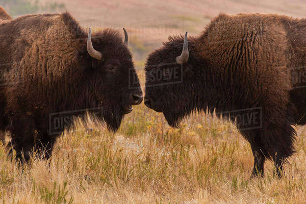 USA, South Dakota, Custer State Park. Two bison face-to-face. Royalty-free stock photo