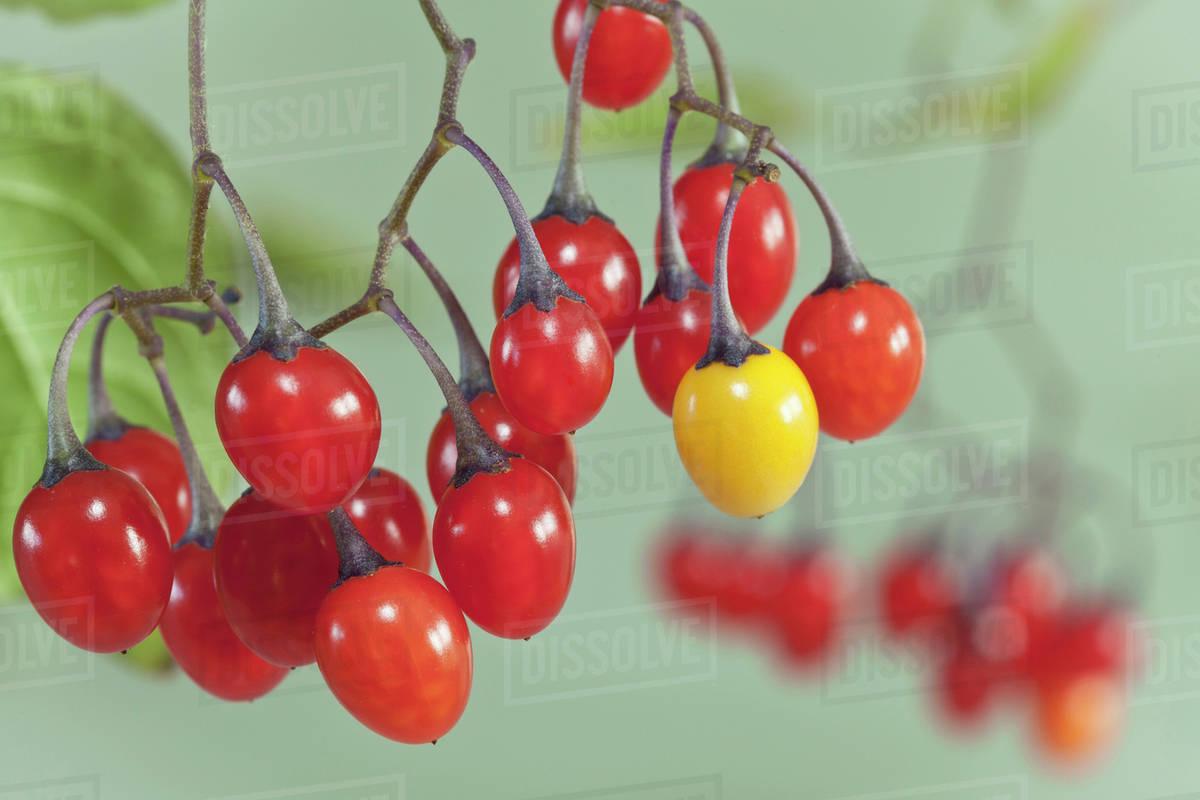 Nightshade Berries