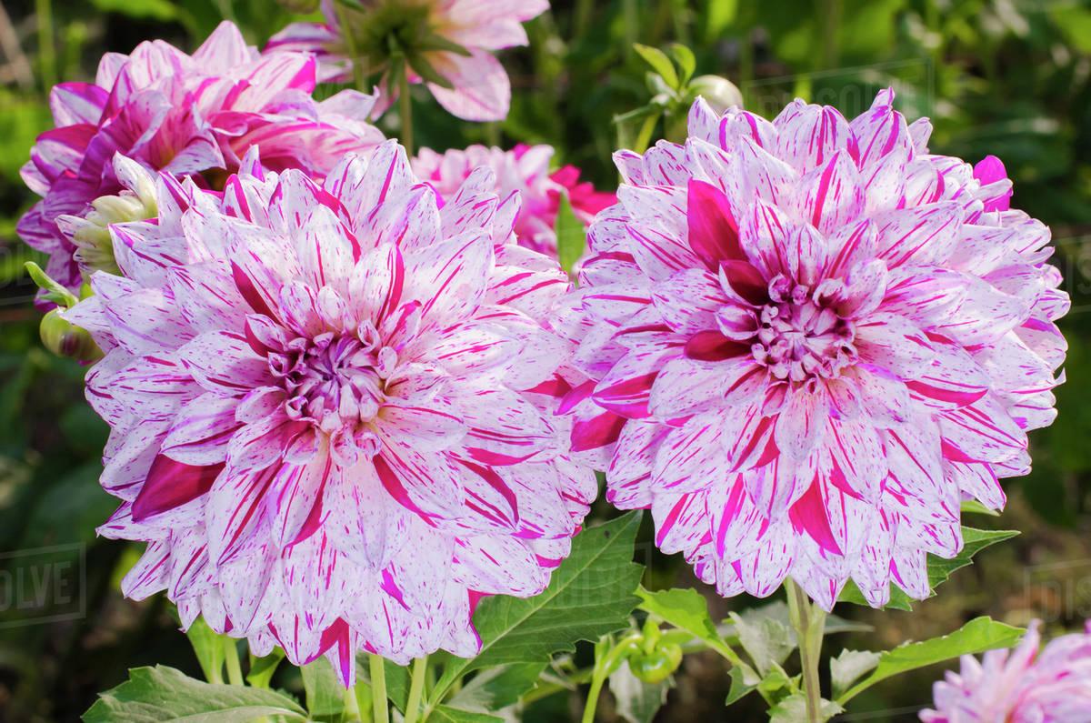 Usa Washington Dahlia Flowers In Garden Stock Photo Dissolve