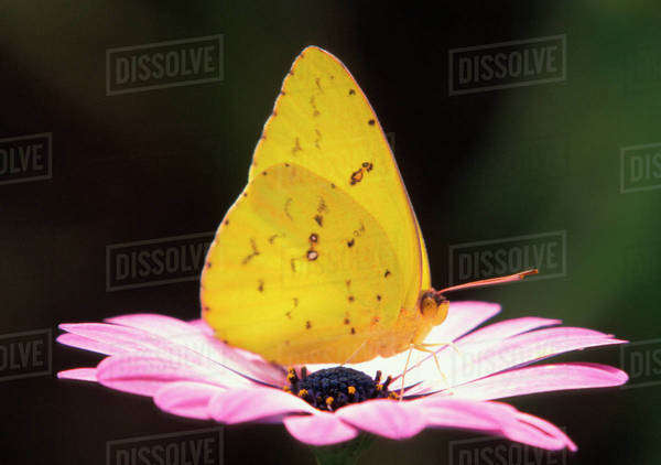 North America, USA, WA, Seattle, Woodland Park Zoo, Cloudless Sulphur standing on African Daisy (Phoebis sennae) Royalty-free stock photo