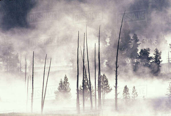 NA, USA, Wyoming, Yellowstone National Park. Steam and Lodgpole Pines along Firehole Lake Drive Royalty-free stock photo