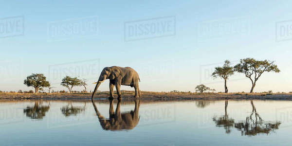 Africa, Botswana, Chobe National Park, African Elephant (Loxodonta Africana) stands at edge of water hole in Savuti Marsh Royalty-free stock photo
