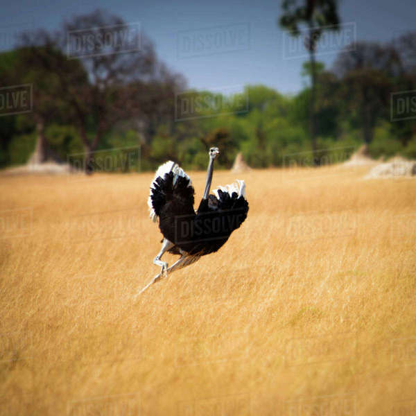 Male Ostrich running in grass, leaning to right Royalty-free stock photo