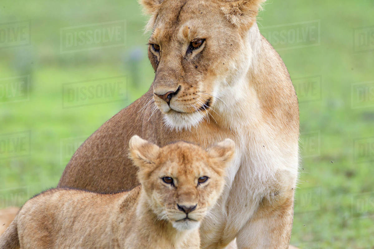 lioness with its female cub standing together side by side one