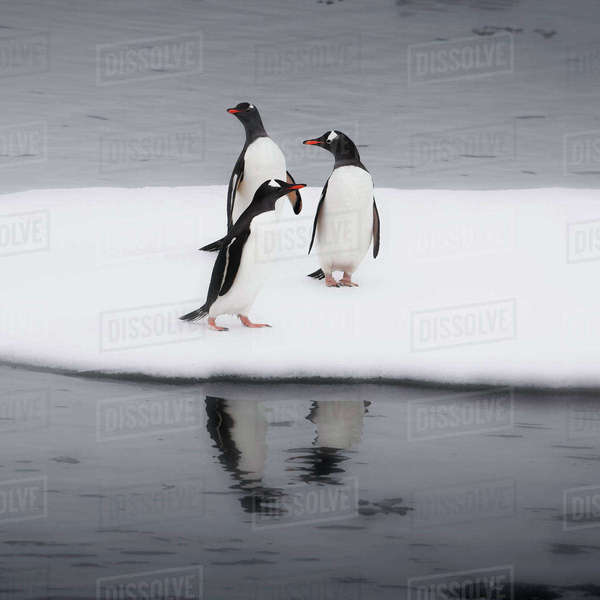 Antarctica. Gentoo Penguins standing on sea ice with reflection. Royalty-free stock photo