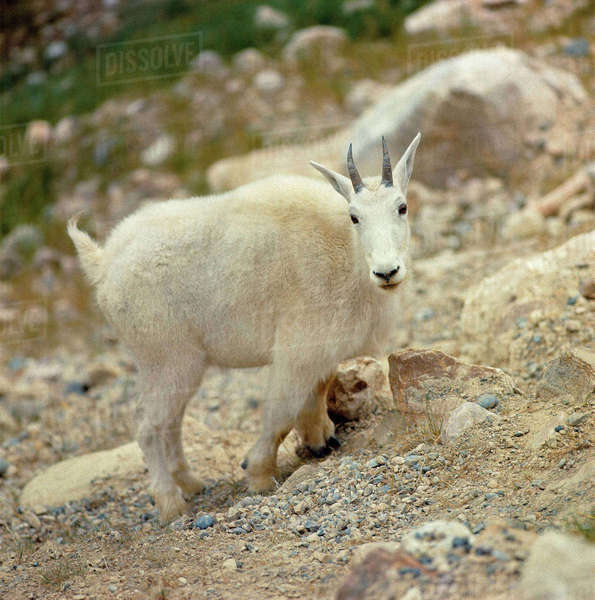 Canada, Alberta, Banff National Park. The goat antelope is more commonly known as the Rocky Mountain goat, here seen in Banff National Park, Alberta, Canada. Royalty-free stock photo