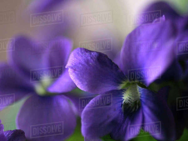 Violet Close-up Royalty-free stock photo