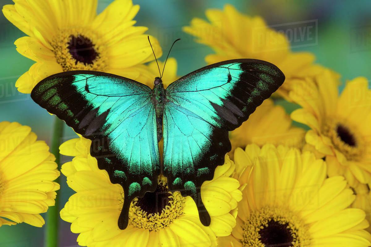 sea green swallowtail butterfly papilio lorquinianus stock photo