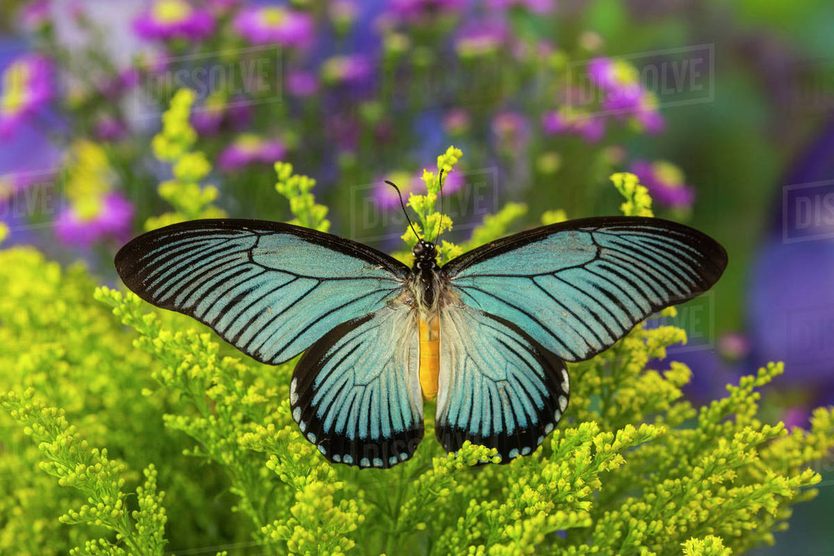 african giant blue swallowtail butterfly papilio zalmoxis stock