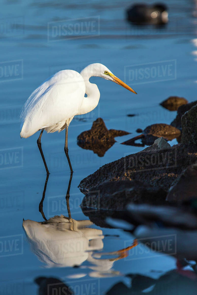 Great Egret On Prowl >> Lake Murray San Diego California A Great Egret Prowling The