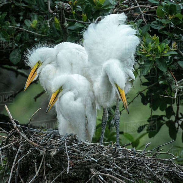 USA, Alligator Farm Zoological Park, St. Augustine, Florida. Great Egret chicks in the nest. Royalty-free stock photo