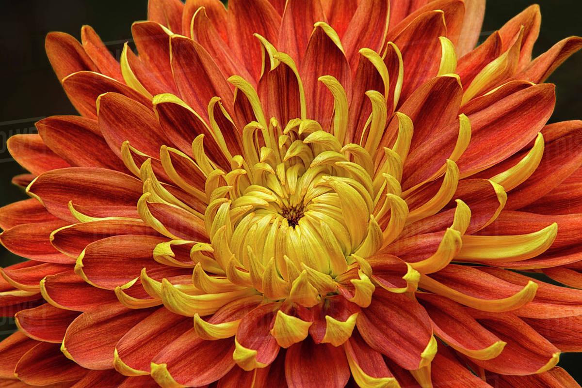 Close Up Of A Japanese Fall Flowering Kiku Or Chrysanthemum In