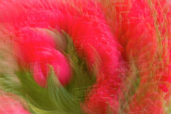 Multiple-exposure of bouquet of red tulip flowers. Royalty-free stock photo