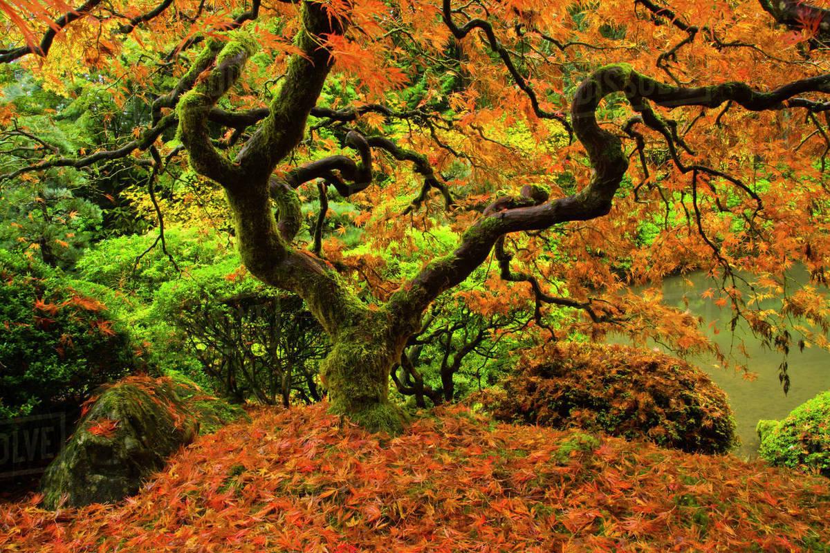 Japanese Maple, Portland Japanese Garden, fallen leaves, Autumn ...