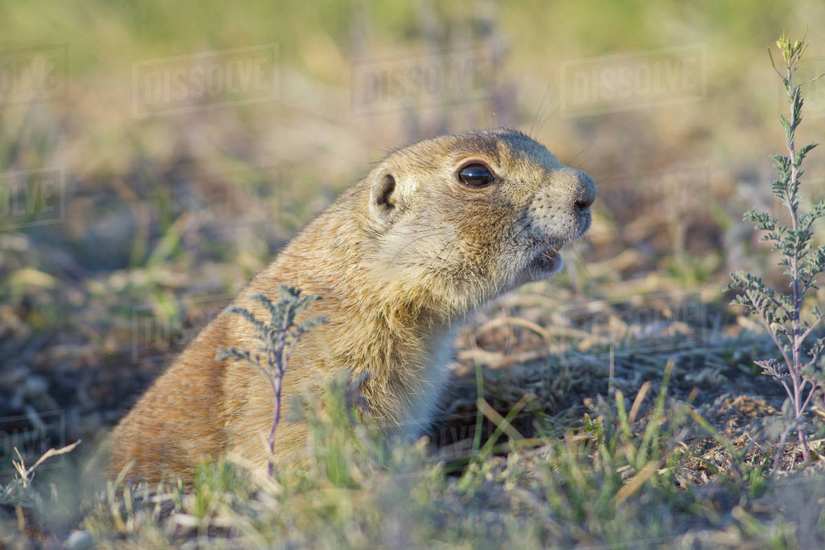 Wyoming, Sublette County, White-tailed Prairie Dog barking from burrow   stock photo