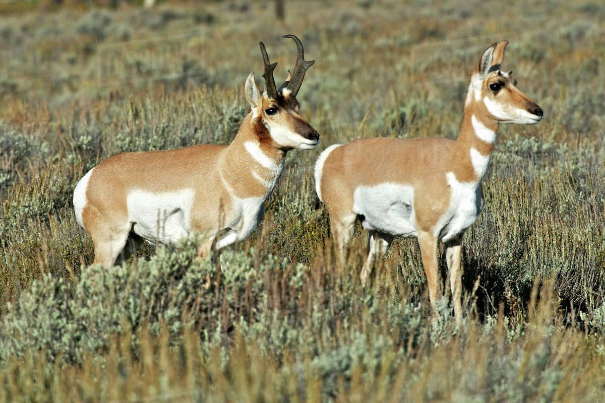 pronghorn antelope antilocapra americana in teton national park a