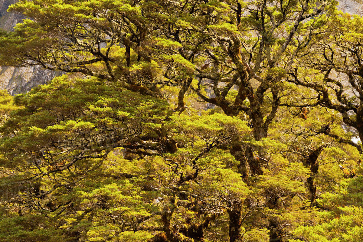 New Zealand South Island Fiordland National Park Silver Beech Trees