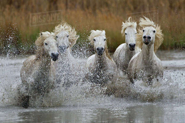 Camargue horses running through marshy wetland of the Camargue, southern France Rights-managed stock photo