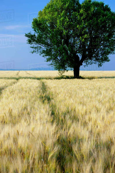 Lone tree in field of barley near Valensole, Provence, France. Rights-managed stock photo