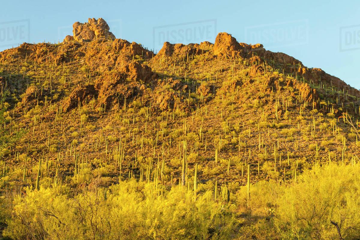 Usa Arizona Sonoran Desert Saguaro Cactus And Blooming Palo Verde
