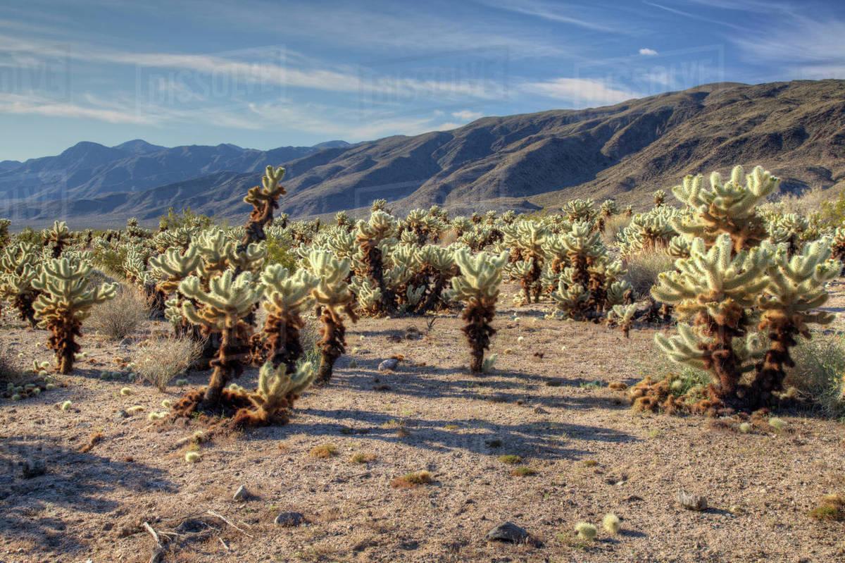 Ca joshua tree national park cholla cactus garden with - Cholla cactus garden joshua tree ...